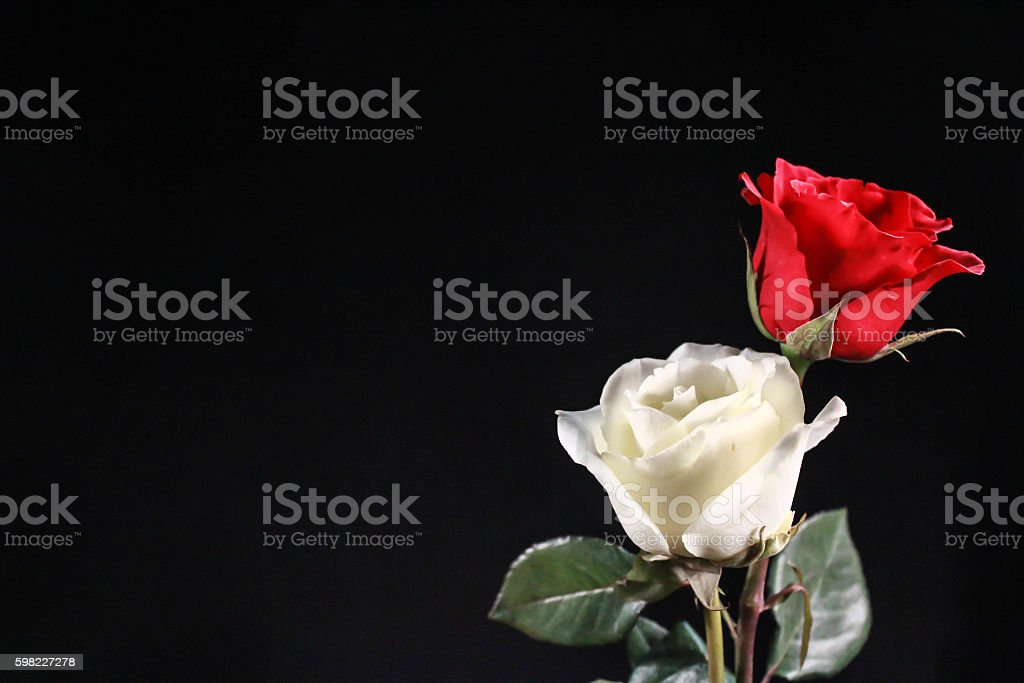 Twin rose difference color foto royalty-free
