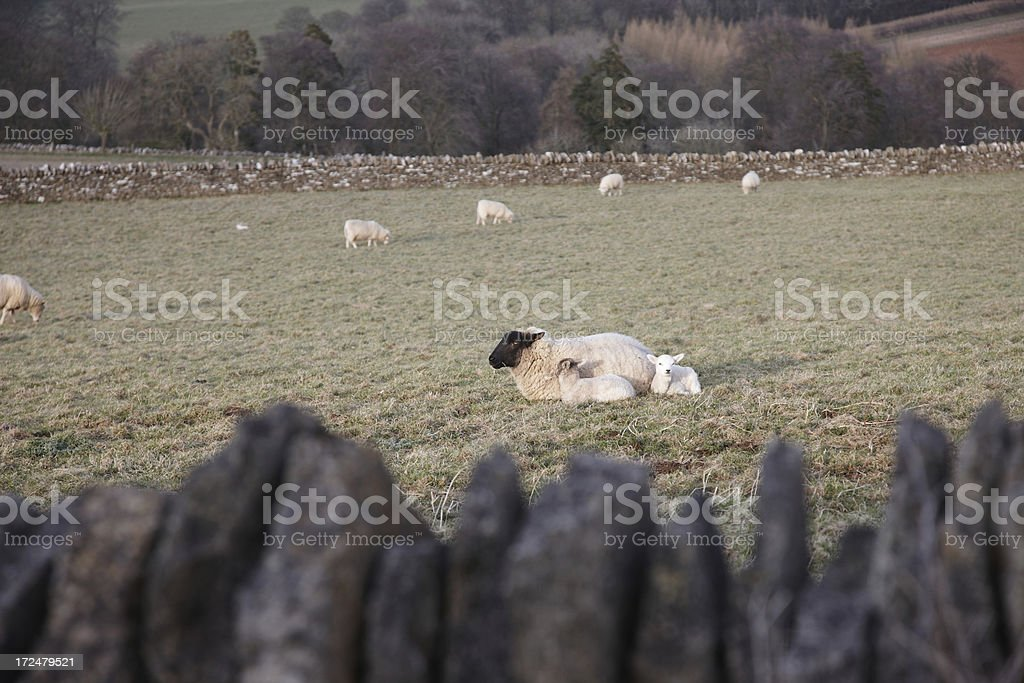 Twin spring lambs grazing with mother royalty-free stock photo