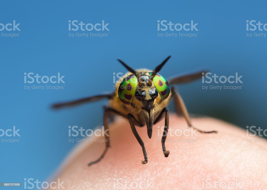 Twin-lobed deerfly, Chrysops relictus on human skin stock photo