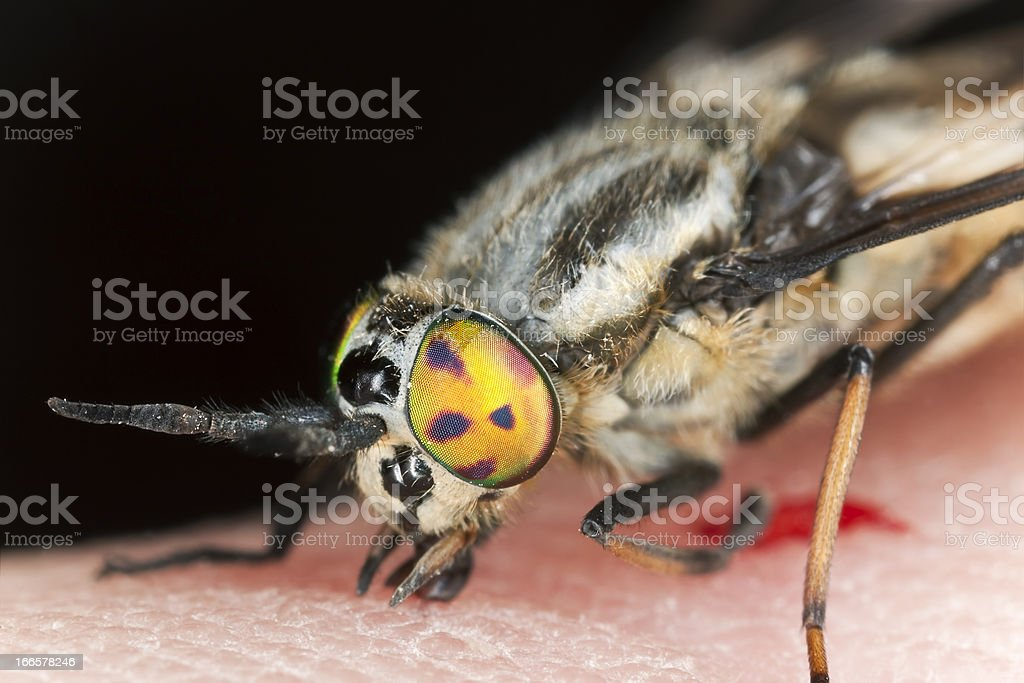 Twin-lobed deerfly (Chrysops relictus) sucking blood from human, macro photo stock photo