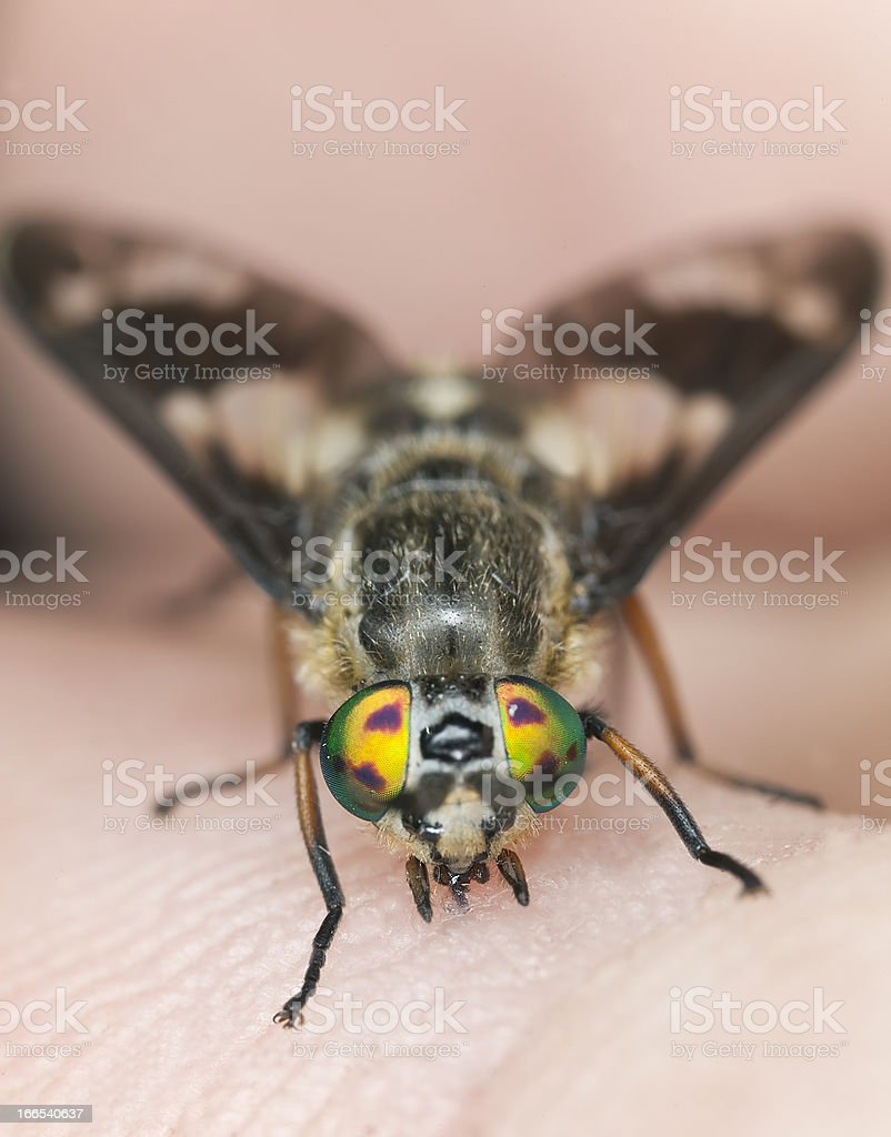 Twin-lobed deerfly (Chrysops relictus) sucking blood from human royalty-free stock photo