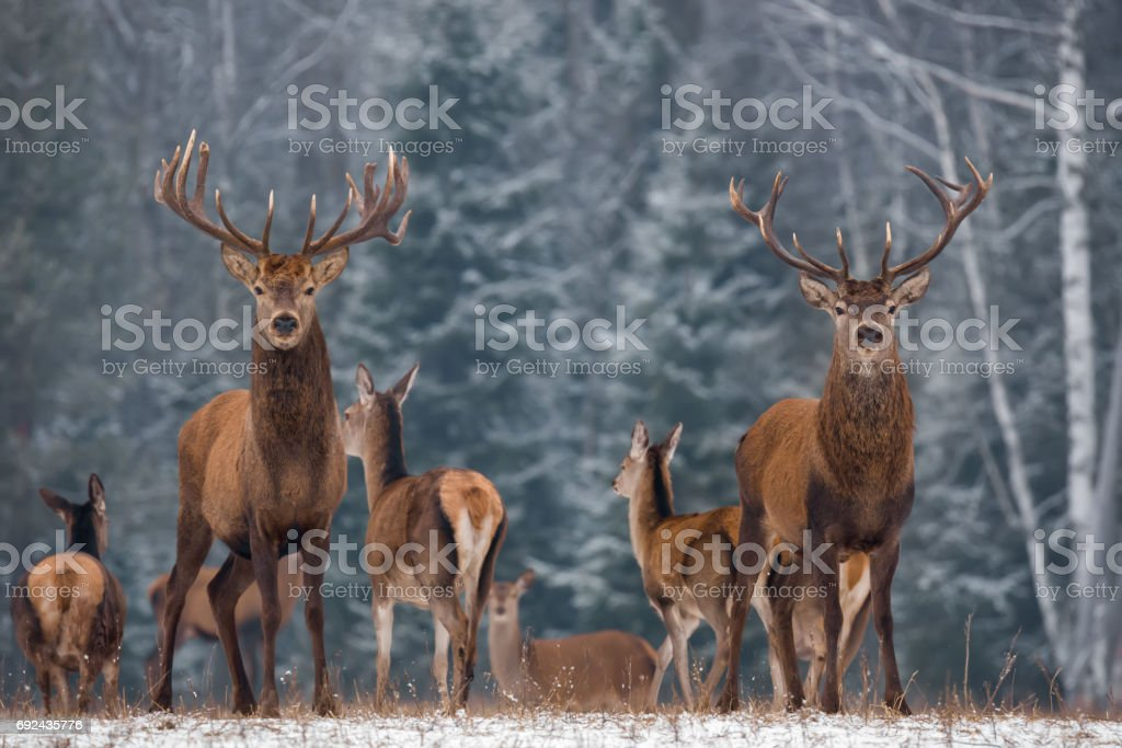 Twins. Winter Wildlife Landscape With Two Noble Deer (Cervus elaphus). Deer With Large Branched Horns On The Background Of Snow-Covered Birch Forest. Two Stag Close-Up, Artistic View. Two Trophy Deer stock photo