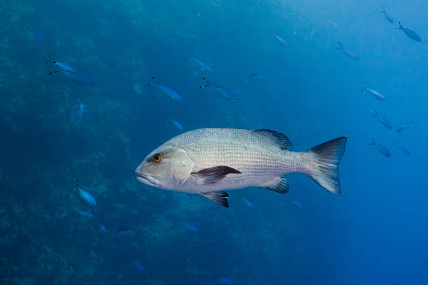 Twinspot snapper stock photo