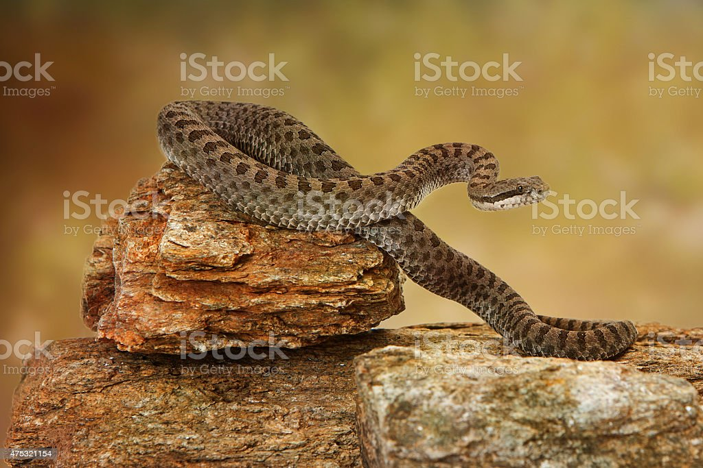 Twin-Spotted Rattlesnake On Top of Rock stock photo