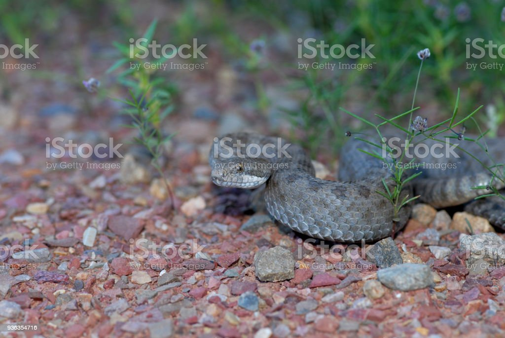Twin-spotted Rattlesnake stock photo