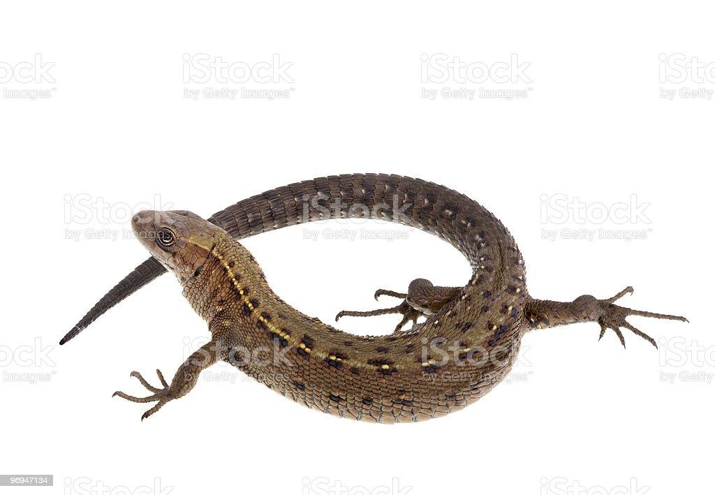 Twirled lizard royalty-free stock photo