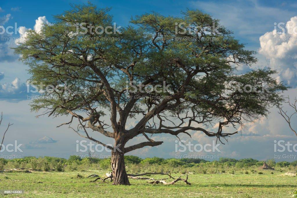 ワンゲ国立公園ジンバブエのアフ...