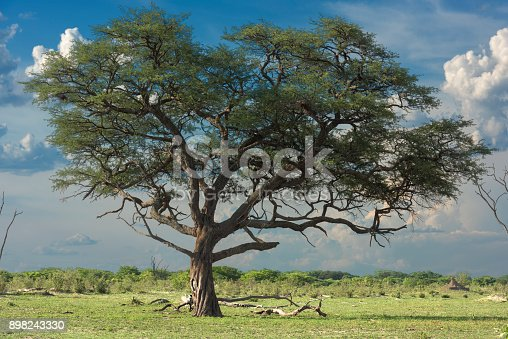 Twisted African rosewood tree (Guibourtia coleosperma) in Hwange National Park, Zimbabwe.  Although not a true rosewood (genus Dalbergia), this tree is known for its beautiful red wood.