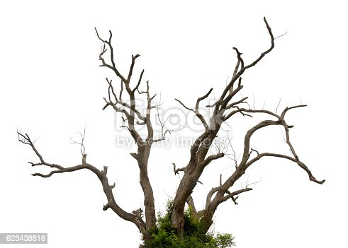 Close-up of a twisted and leafless tree, Isolated on white background