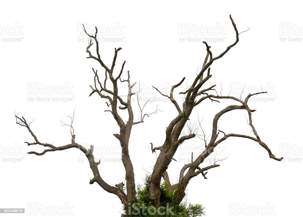 Twisted and leafless tree against white stock photo