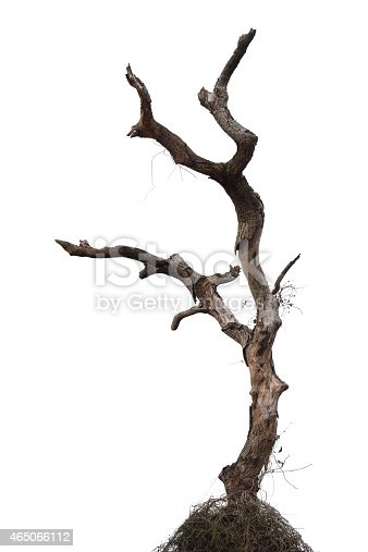 Close-up of a twisted and leafless tree,Isolated on white background.Full frame and super size image