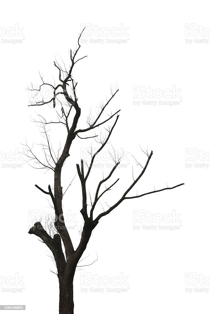 Twisted and leafless tree isolated stock photo
