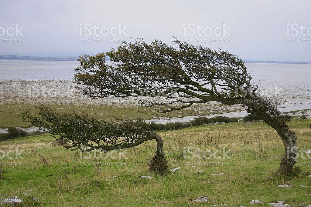 twisted and windswept hawthorn bushes stock photo