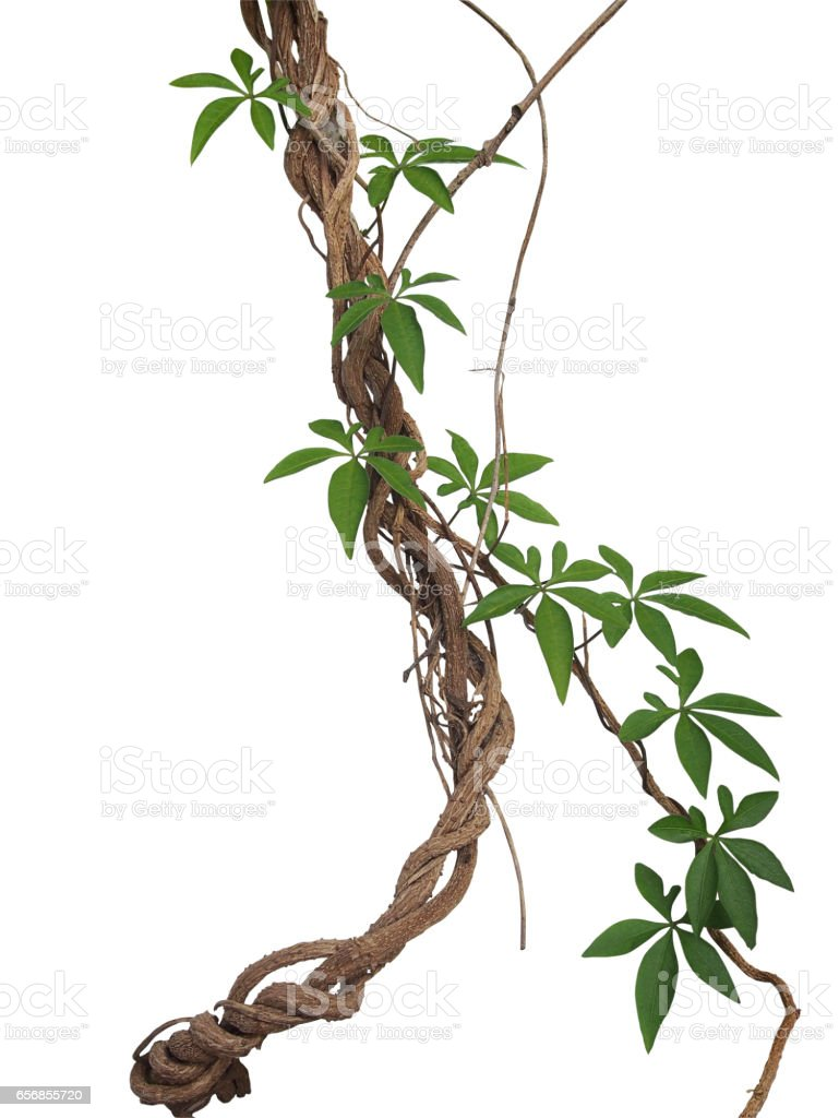 Twisted big jungle vines with leaves of wild morning glory liana plant isolated on white background, clipping path included. stock photo