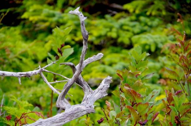 gedrehten zweigen des gebleichten, toter baum kontrast mit dem hellen grün der umgebenden laub auf einer insel in der zentralen küste von british columbia. - die toteninsel stock-fotos und bilder