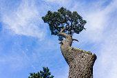 Twisted cypress tree, San Francisco, California