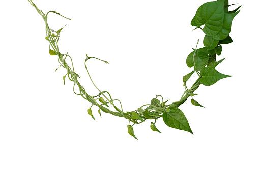 꼬인 정글 덩굴 리아 나 하트 모양의 녹색 나뭇잎 흰색 배경에 고립 클리핑 경로 포함 0명에 대한 스톡 사진 및 기타 이미지