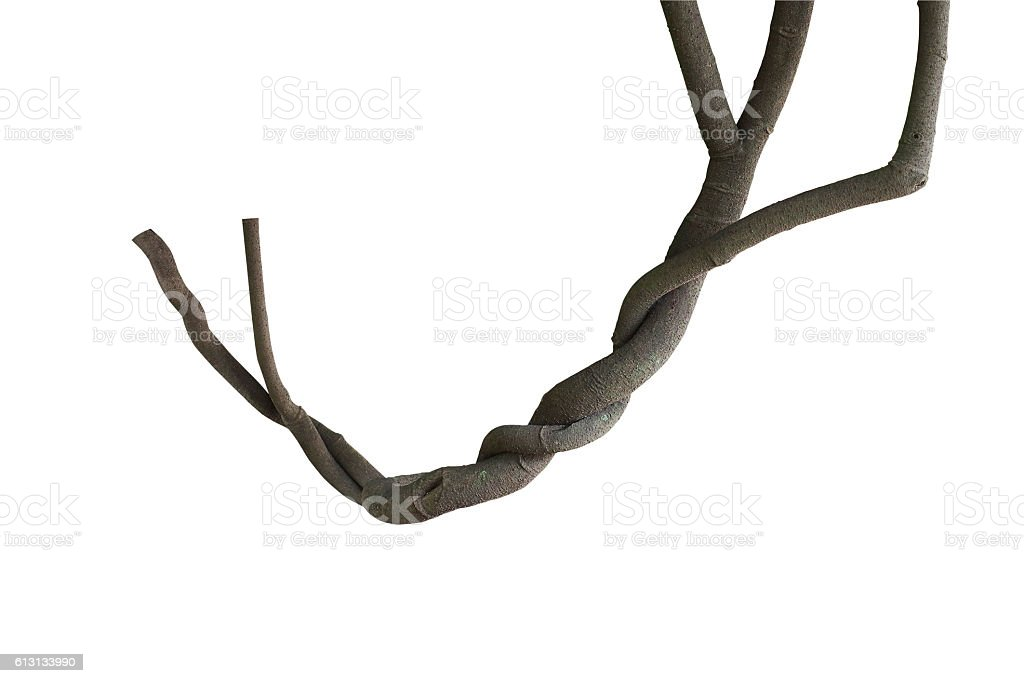 Twisted jungle vines, tree branches isolated on white background stock photo