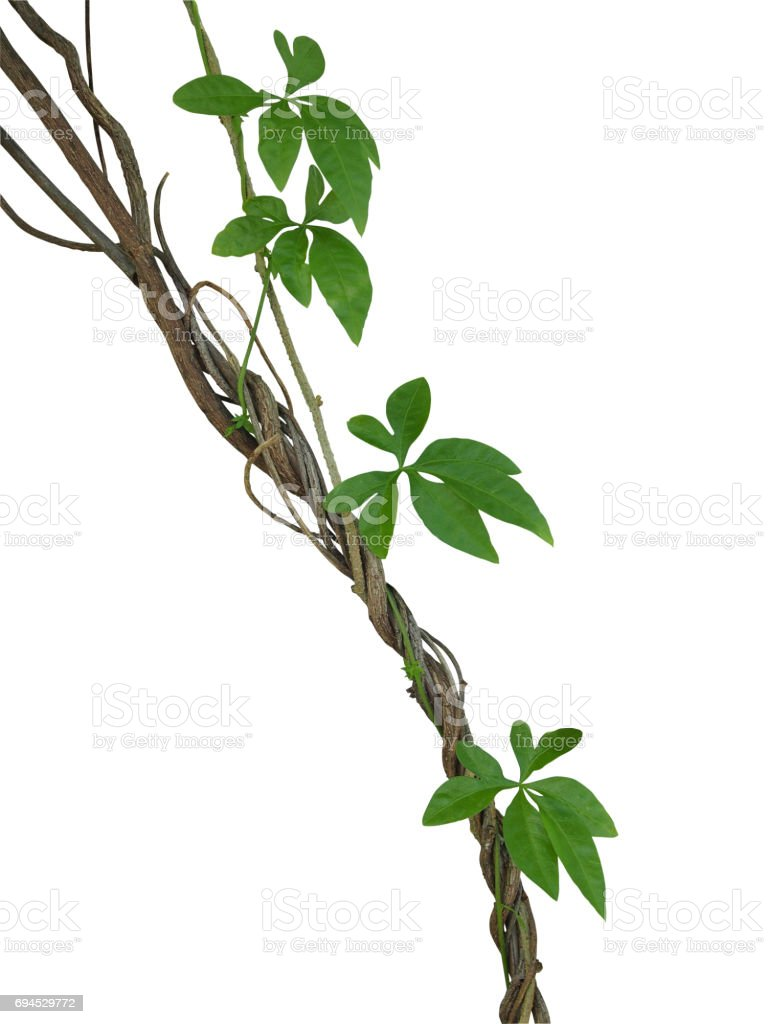 Twisted jungle vines with green leaves of wild morning glory liana plant isolated on white background, clipping path included. stock photo