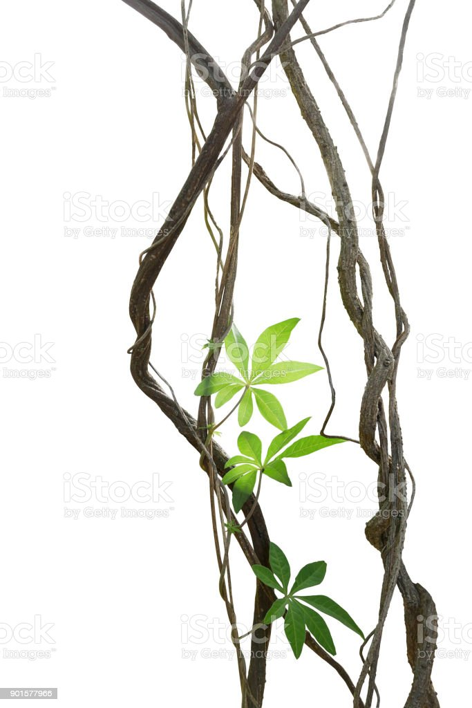 twisted jungle vines with leaves of wild morning glory liana plant