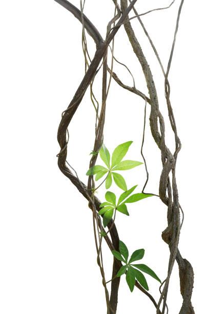 gedraaide jungle vines met bladeren van wild morning glory liana plant geïsoleerd op een witte achtergrond, uitknippad opgenomen. - rank stockfoto's en -beelden