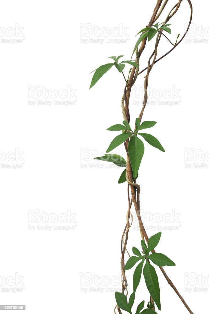 Twisted jungle vines with palmately leaves of wild morning glory liana plant isolated on white background, clipping path included. stock photo