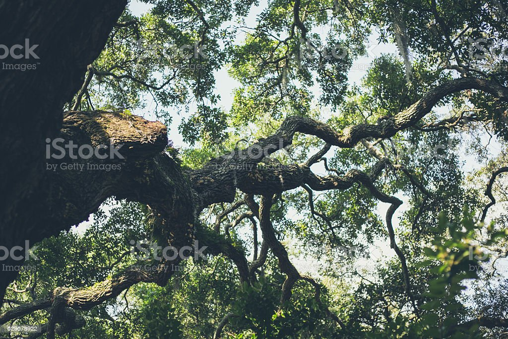 The twisted branches of a Live Oak tree, covered in Spanish moss.