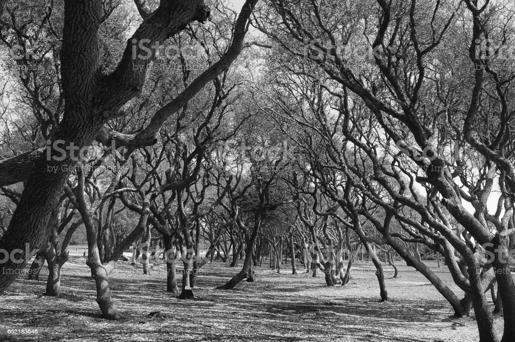Twisted live-oak trees in black and white stock photo