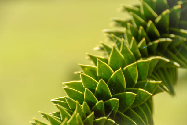 Twisted Monkey puzzle tree branch detail stock photo