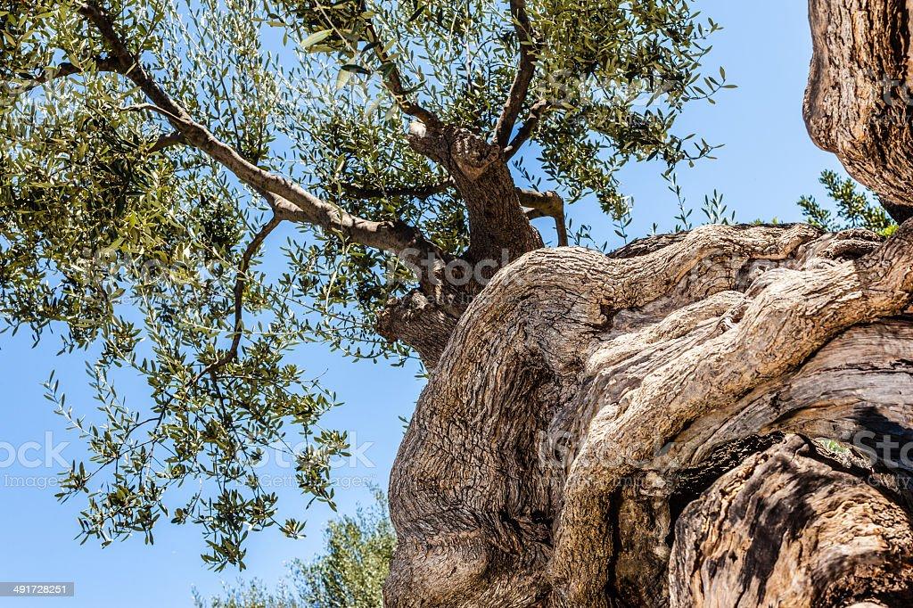 olive torsadé Tronc d'arbre - Photo