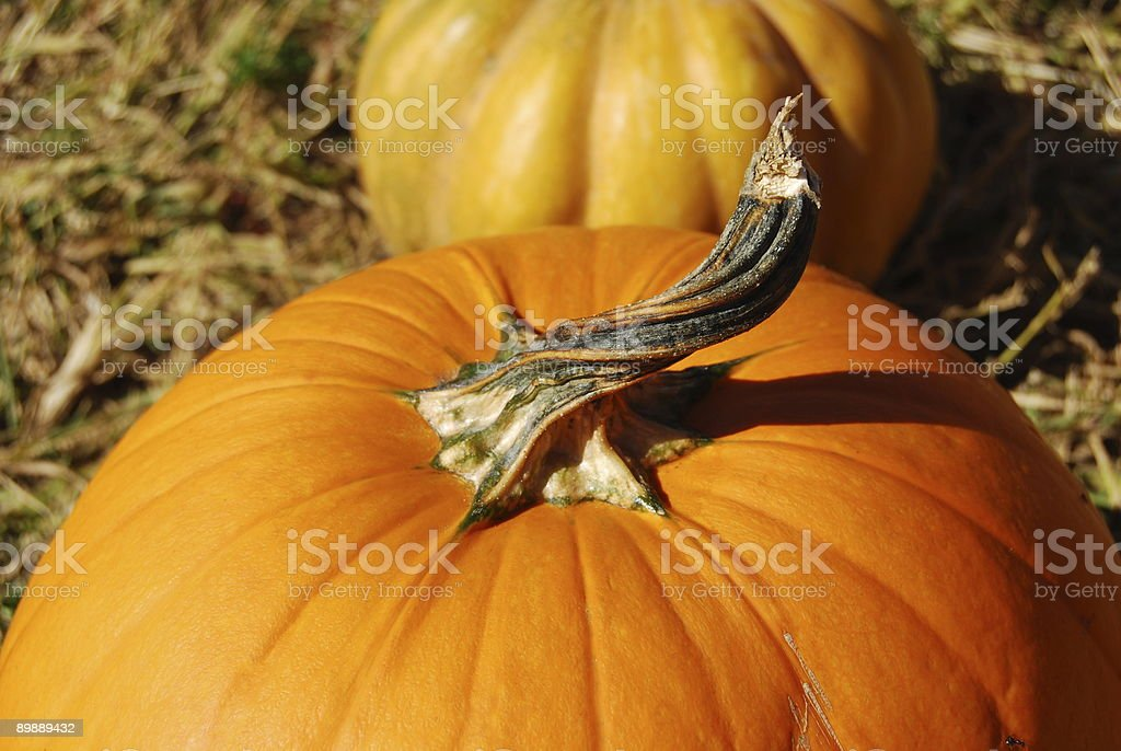 Twisted Pumpkin Stem royalty-free stock photo