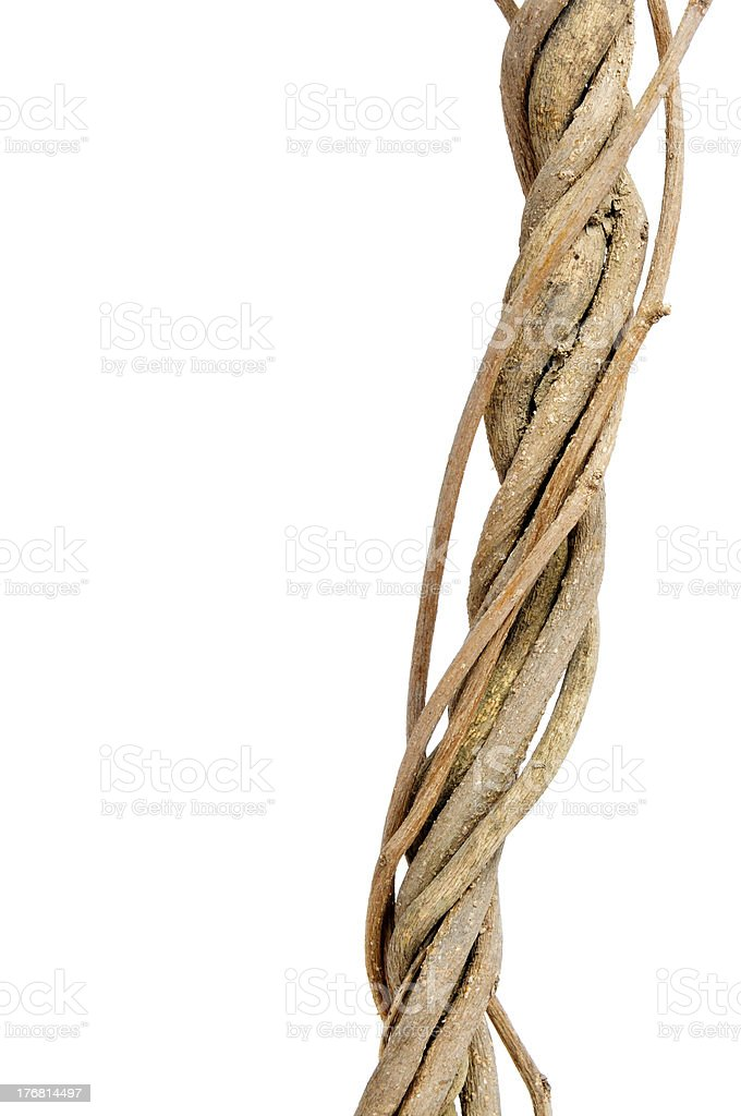 twisted roots stock photo