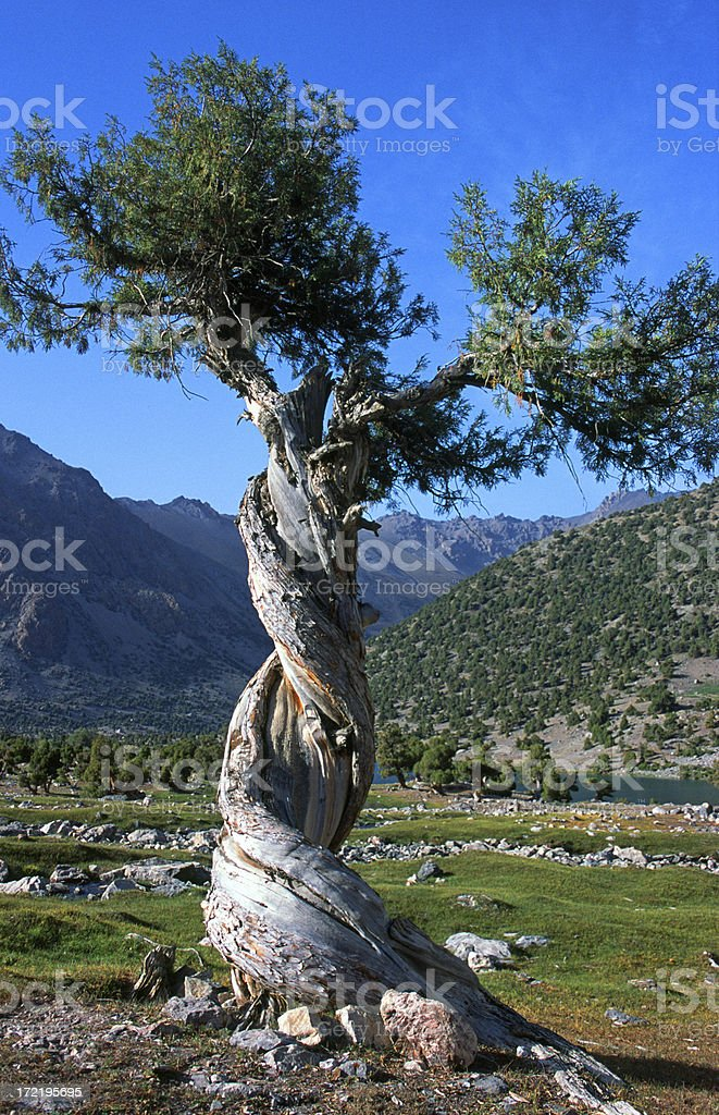Twisted tree stock photo