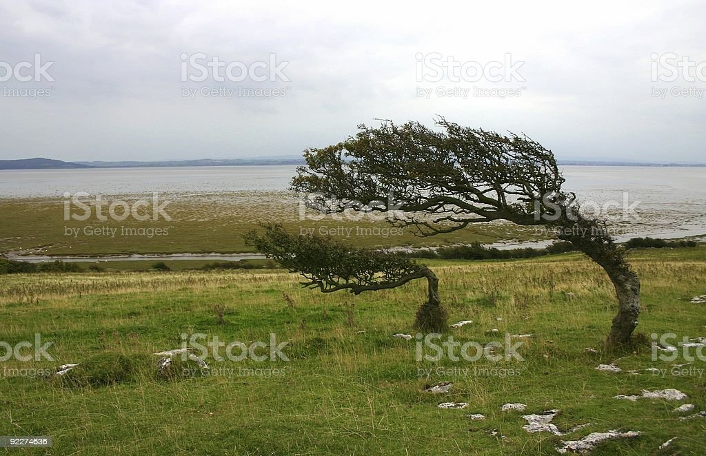 twisted tree series: two bents stock photo