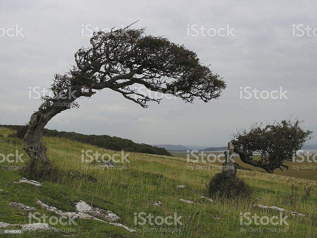 Twisted trees royalty-free stock photo