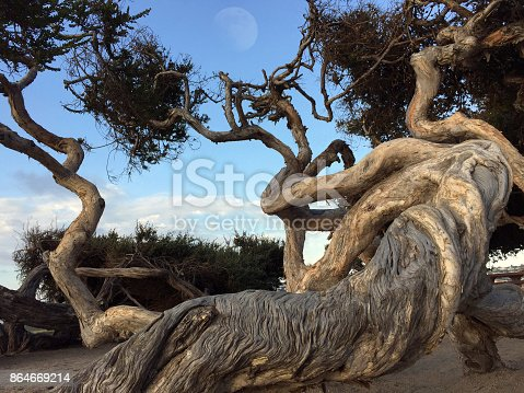 Some twisting tree trunks on a clear day out in La Jolla California