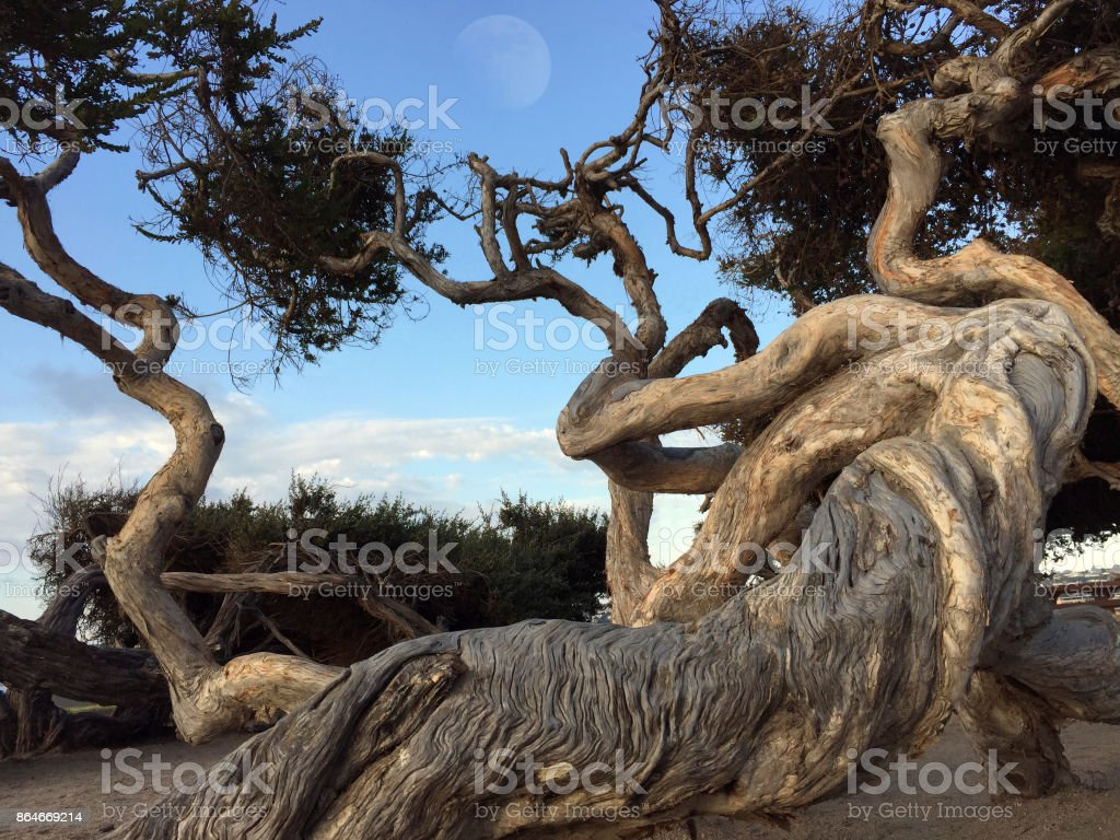 Twisted Trunks stock photo