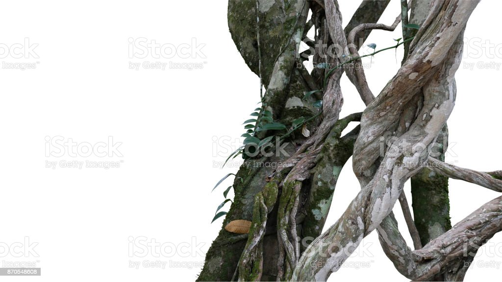 Twisted wild liana big jungle vines plant with moss, lichen and wild climbing orchid leaves isolated on white background, clipping path included. stock photo