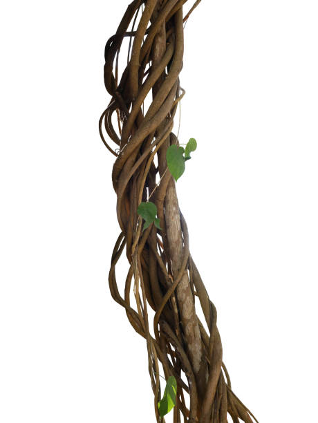 twisted wild liana jungle vines plant growing on tree branch isolated on white background, clipping path included. - ствол стоковые фото и изображения