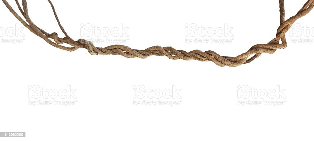 Twisted wild liana jungle vines plant isolated on white background, clipping path included. stock photo
