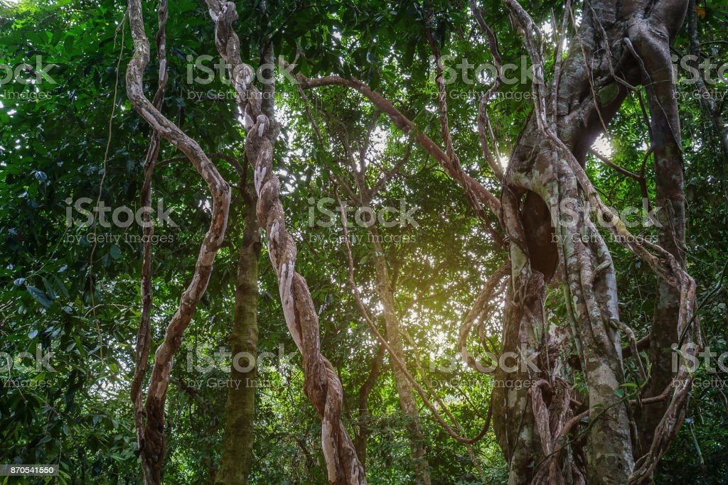 Twisted wild liana messy jungle vines plant with lichen on lush foliage tropical rainforest, jungle background. stock photo