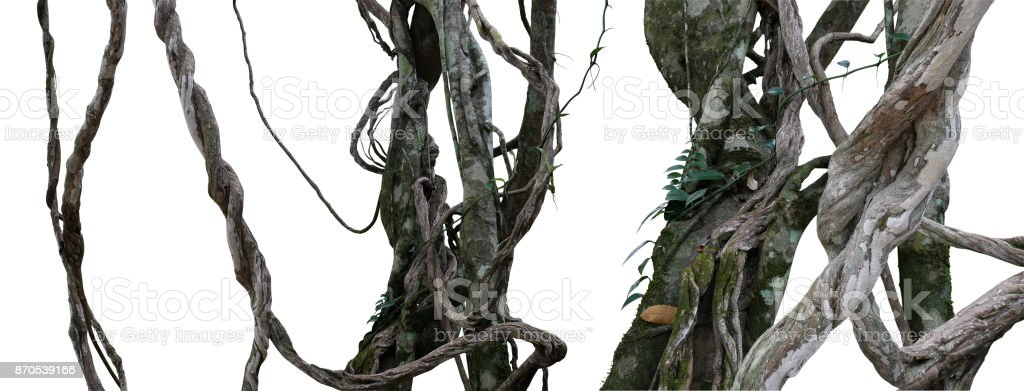 Twisted wild liana messy jungle vines plant with moss, lichen and wild climbing orchid leaves isolated on white background, clipping path included. Tropical rainforest, jungle background. stock photo