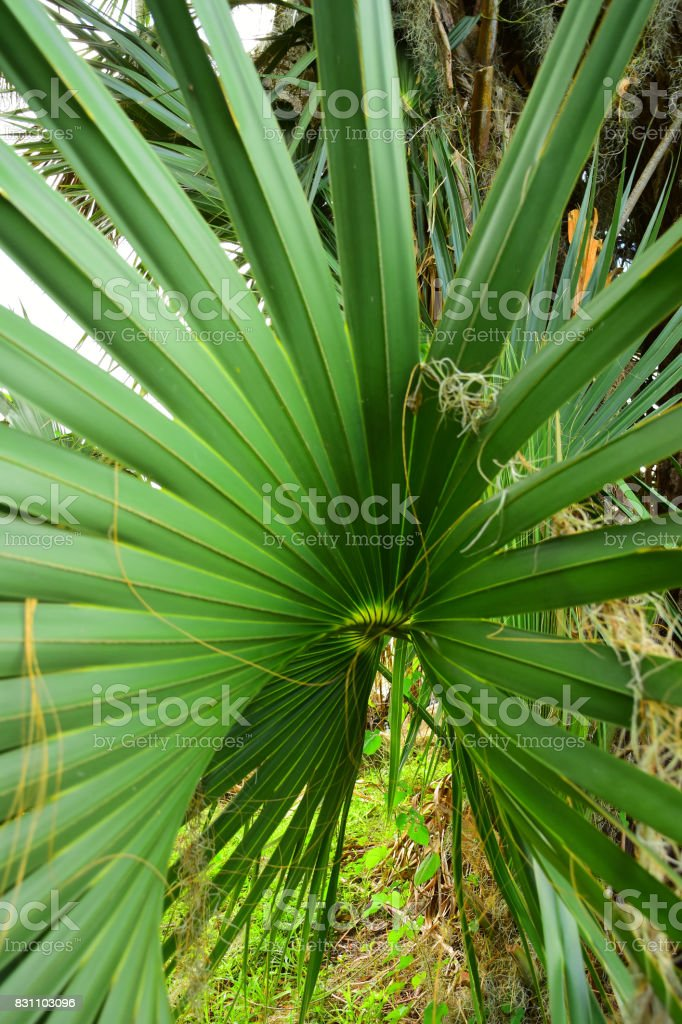 Twisting Cabbage Palm frond with expanding fingers stock photo