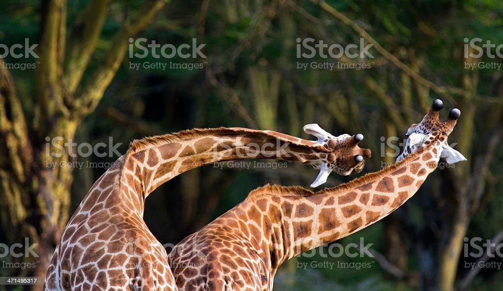 Twisting Giraffe royalty-free stock photo