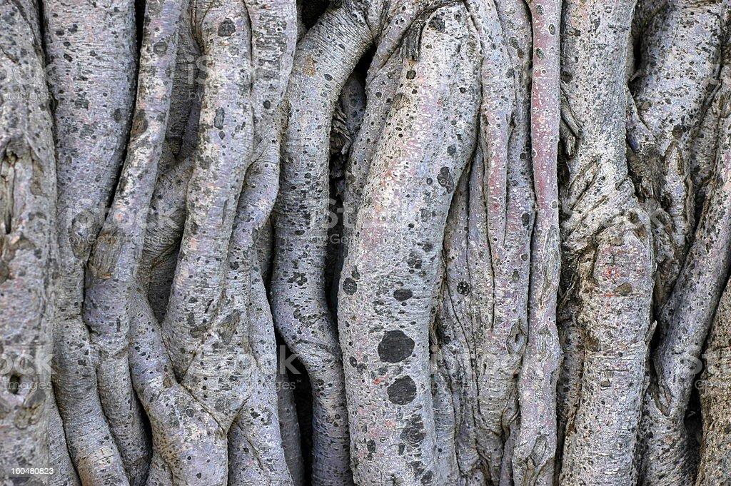 Twisty Tree Vines royalty-free stock photo