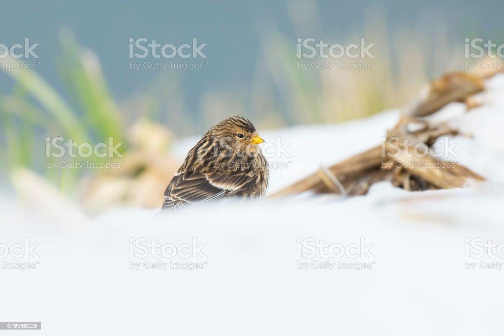 Twite (Carduelis flavirostris) bird closeup royalty-free stock photo