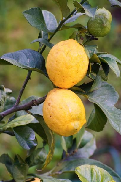 Two 2 ripe yellow vegan lemons on tree stock photo