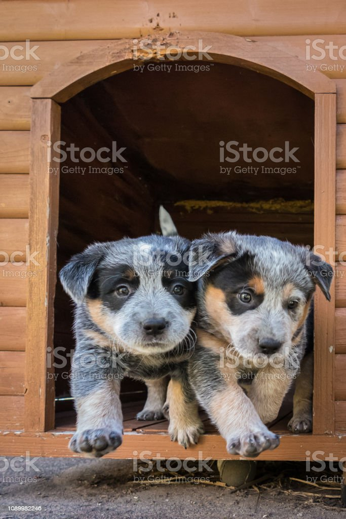 Two 6-weeks old Blue Heeler puppies, Australian Cattle Dogs, eager to leave their dog house stock photo