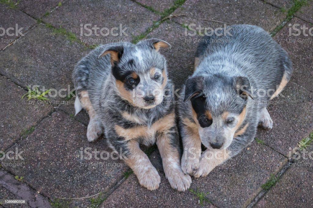 Two 6-weeks old Blue Heeler puppies, Australian Cattle Dogs, Iconic Australian breed, resting in backyard stock photo