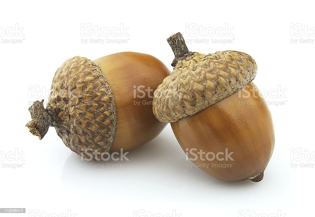 royalty free acorn pictures, images and stock photos - istock